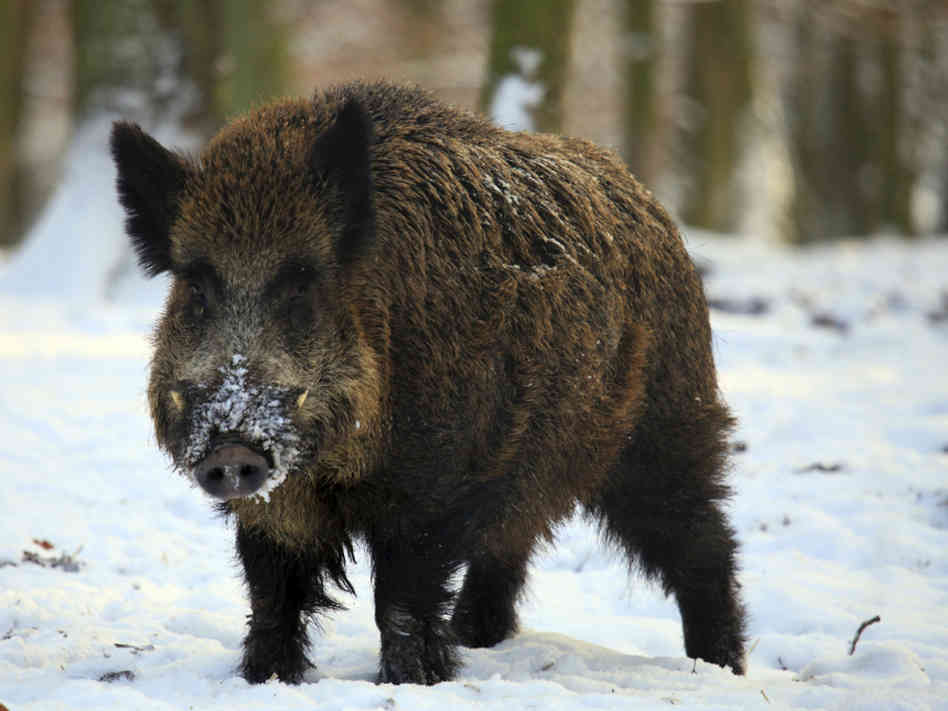 Wild Boar Hunting Package